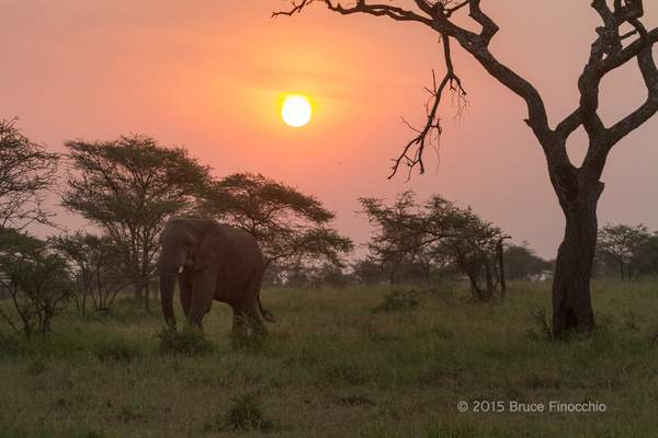 Elephant Strolls Through An Acacia Woodland Just After Dawn