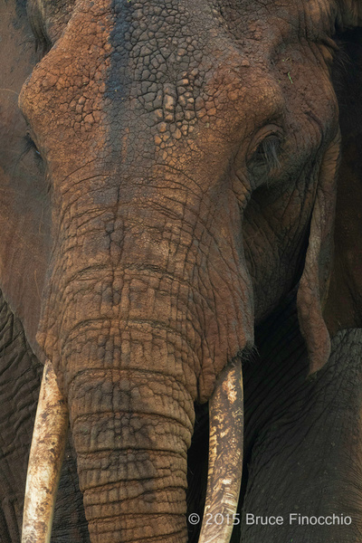 The Craggy Muddy Face Of An Old Elephant by BruceFinocchio