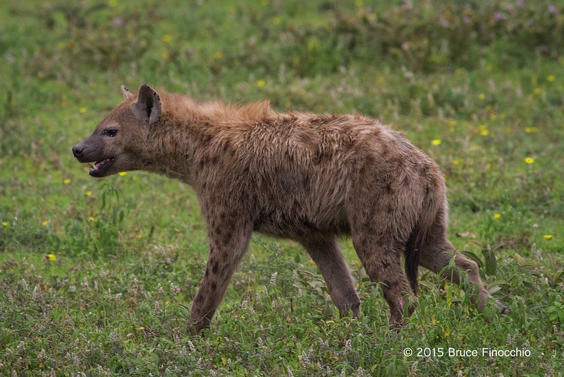 Hyena Moving In A Field Of Flowers