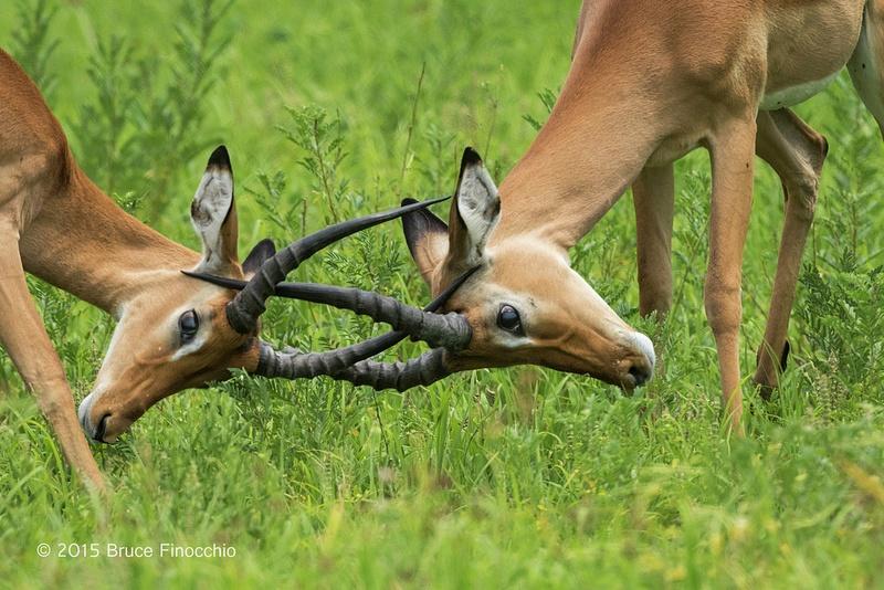 Male Impala Spar and Lock Horns_