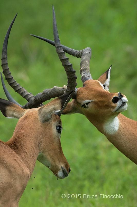 Male Impala Spar and Lock Horns