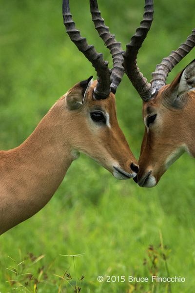 Male Impalas Reconcile After Sparring by BruceFinocchio