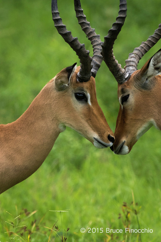 Male Impalas Reconcile After Sparring