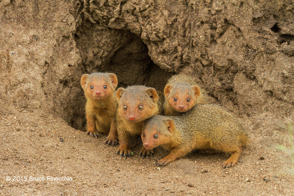 Dwarf Mongoose Mother and Young by BruceFinocchio
