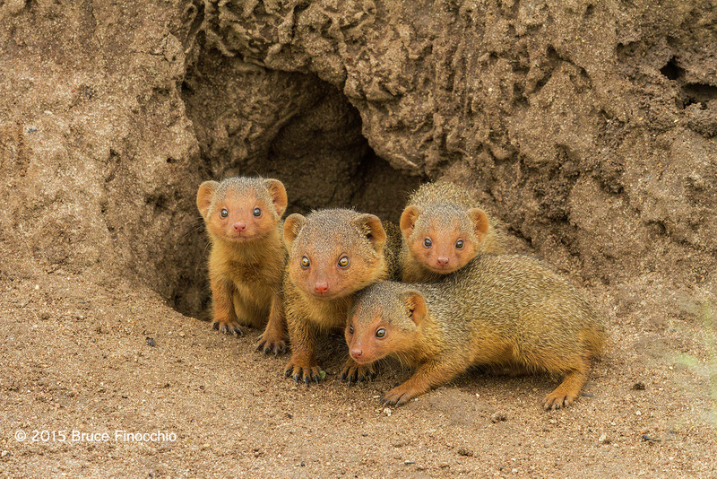 Dwarf Mongoose Mother and Young