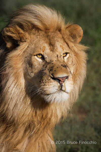 Blond Male Lion Of The Ndutu's Marsh Pride_BF73565D7c by...