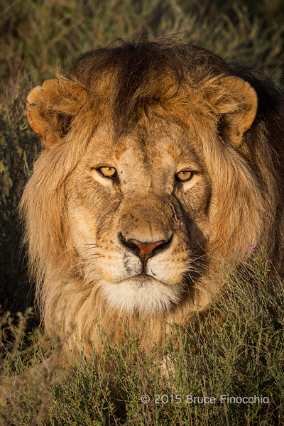 Early Sunlight Strikes The Face Of A Male Lion by...