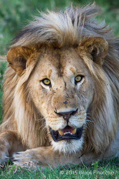 Into The Eyes And Soul Of A Male Lion by BruceFinocchio