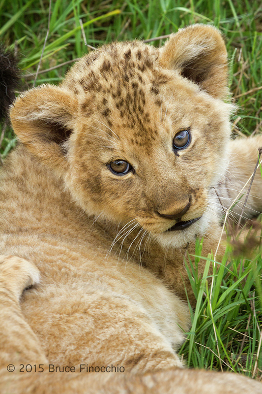 Lion Cub Looks Up At The Outside World