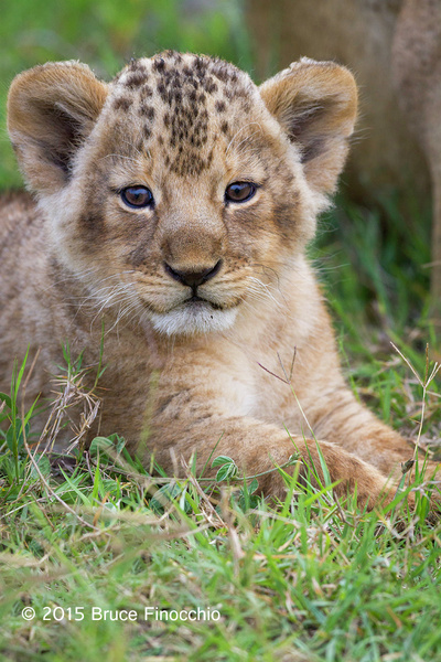 Lion Cub Looks Within As Well As To The Outer World by BruceFinocchio