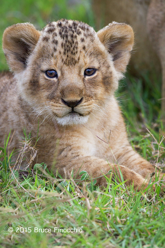 Lion Cub Looks Within As Well As To The Outer World