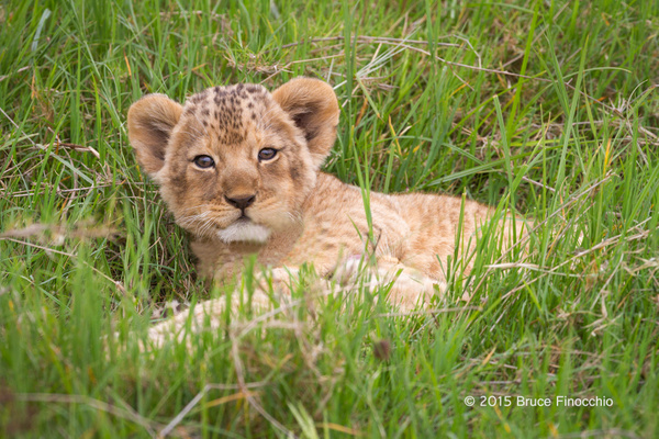 Lion Cub Stares Up From The Green Grass_BF35639D7c by...