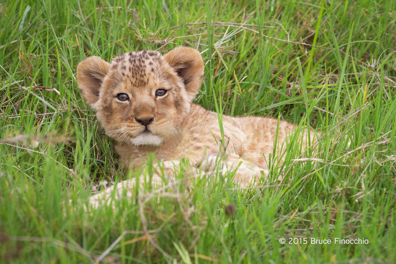 Lion Cub Stares Up From The Green Grass_BF35639D7c