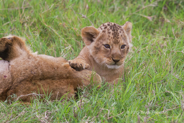 Lion Cub With Paw On Mother by BruceFinocchio