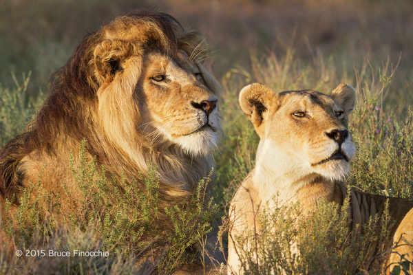 Male and Female Lion Alert and Watching Something In The...