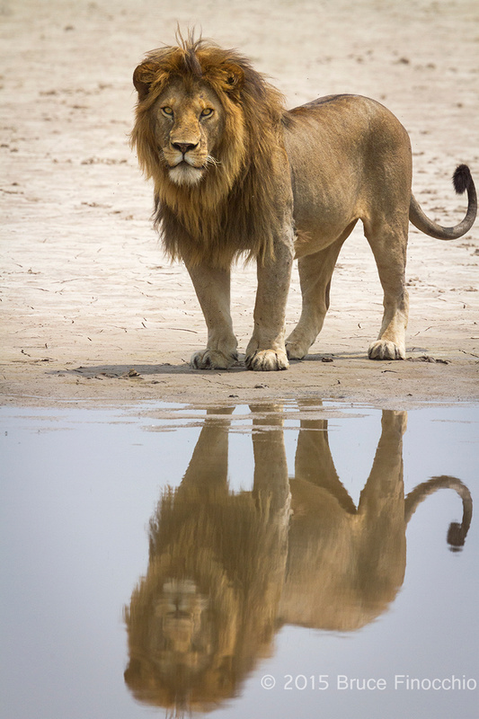 Male Lion And His Reflection