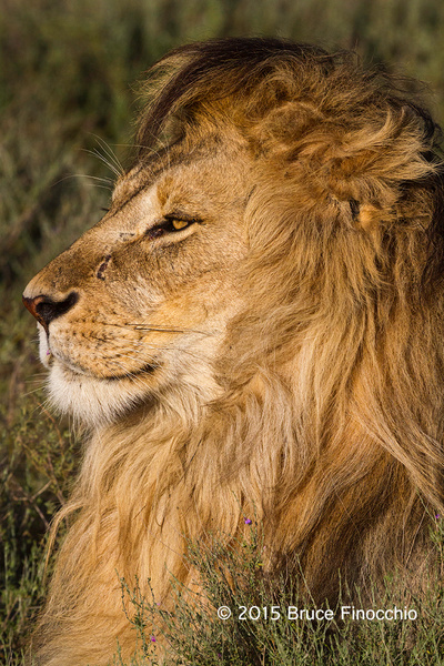 Male Lion Intently Gazes Out Across The Plain by...