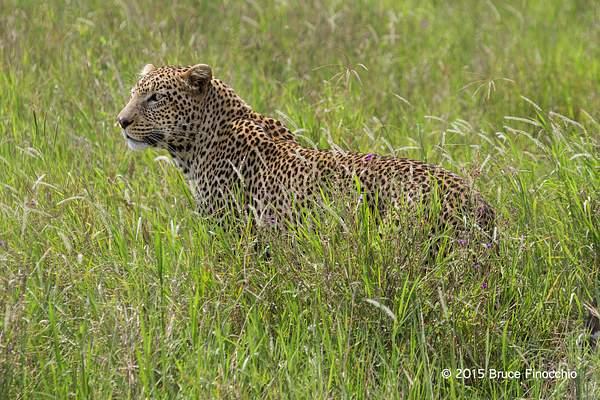 An Alert Leopard In The Long Green Grass