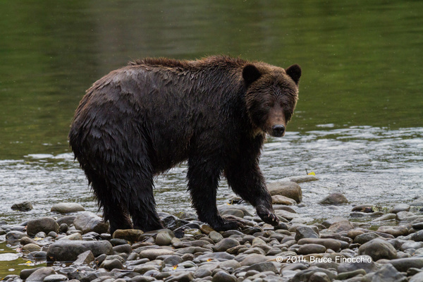 Female Grizzly Bear Along The Anarko River by BruceFinocchio