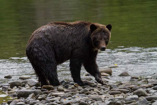 Female Grizzly Bear Along The Anarko River