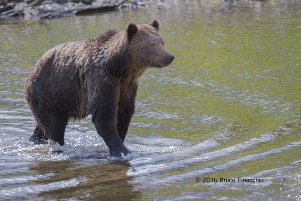 Female Grizzly Bear Walks A Shore by BruceFinocchio