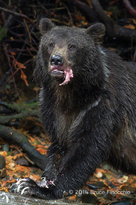 Female Grizzly Bear With Chuck Of Salmon In Her Mouth