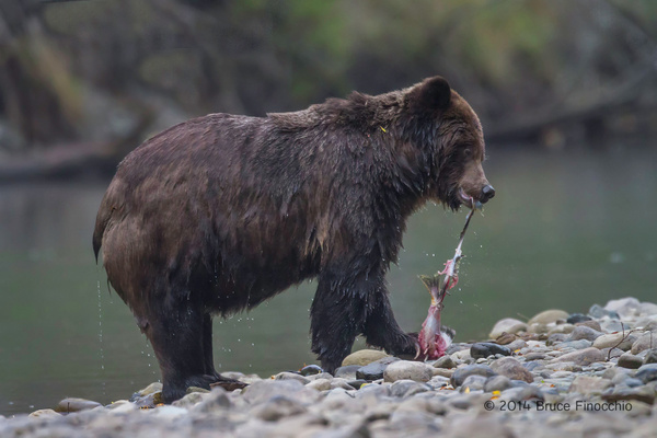 Grizzly Bear Strips Salmon Of Skin Along Stream by BruceFinocchio