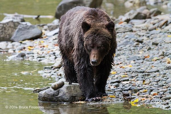 Wet Grizzly Bear Walks Along Stream Edge by BruceFinocchio