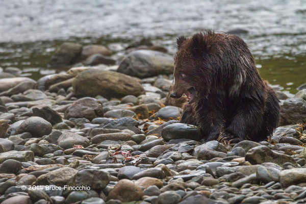 Young Bear Cub Fiercely Guards Salmon Scraps by BruceFinocchio