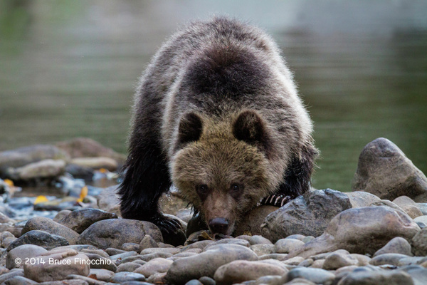 Young Grizzly Bear Cup Peers Over The River Stones by...