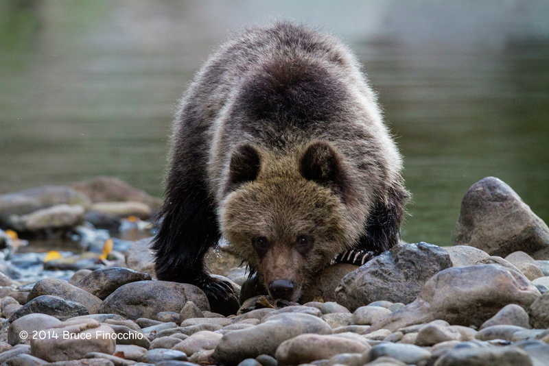 Young Grizzly Bear Cup Peers Over The River Stones