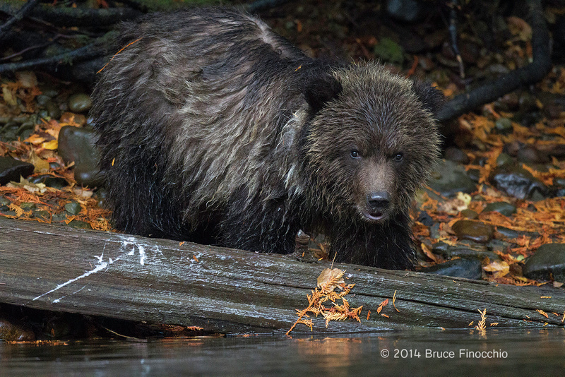 Young Grizzly Cub Along River Bank Peers Out For Fallen Log