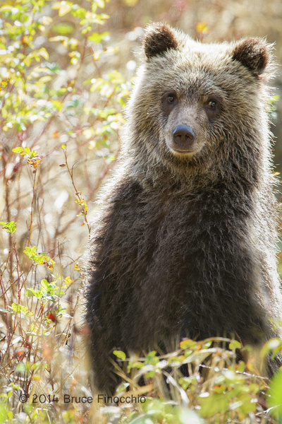 Young Grizzly Cub Stands Up In The Fall Foliage by...