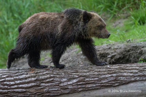 Young Grizzly Cub Walks Across A Down Tree by BruceFinocchio