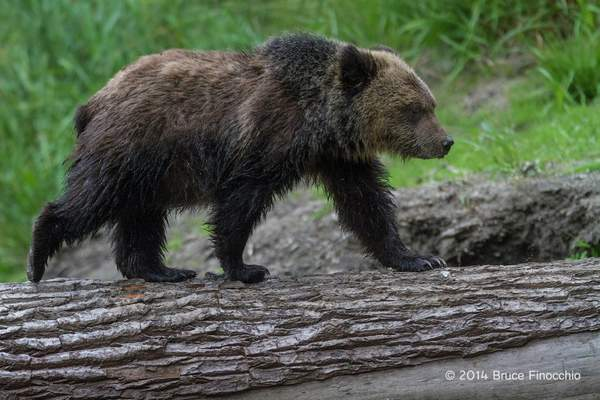 Young Grizzly Cub Walks Across A Down Tree