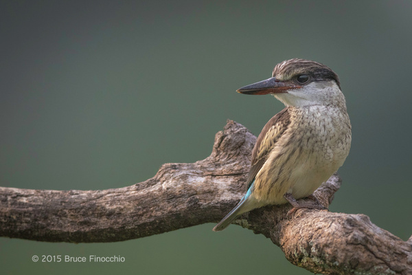 Striped Kingfisher Perched by BruceFinocchio
