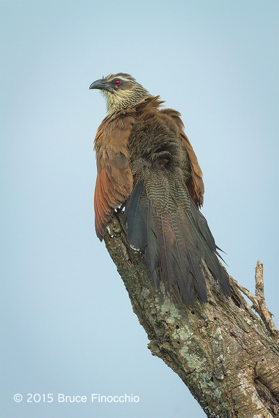 White-browed Coucal Fans Feathers To Dry Them by...