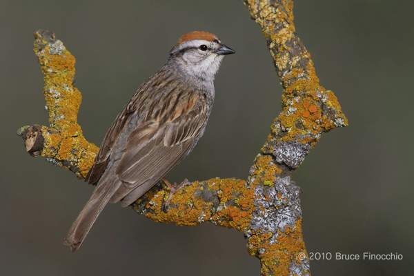 Chipping Sparrow Perched Between Two Orange Lichen Branches