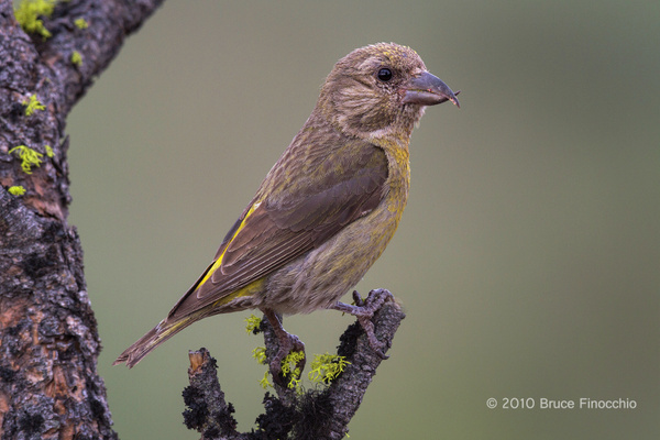 Female Red Crossbill Perched On A Lichen Pine Branch by BruceFinocchio