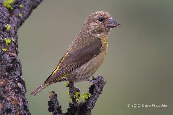 Female Red Crossbill Perched On A Lichen Pine Branch