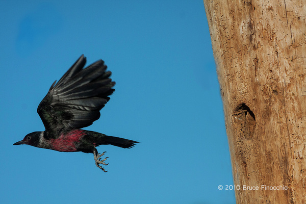 Lewis Woodpecker Flies Away From Nest Cavity by...