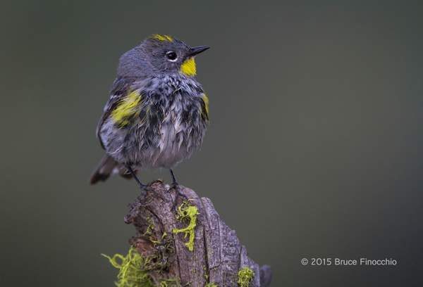 Male Yellow-rumped Warbler Looks Skyward