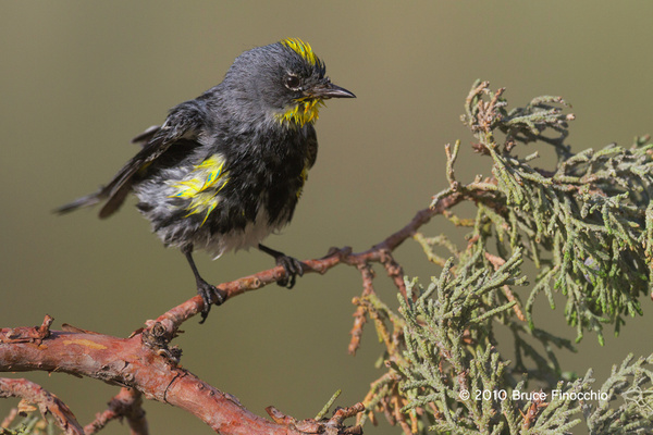 Wet Male Yellow-rumped Warbler Shakes While On A Juniper...