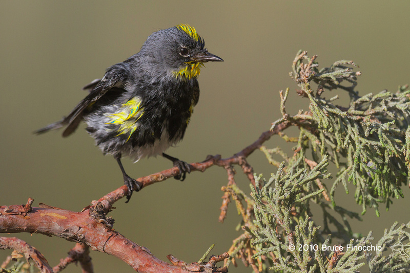 Wet Male Yellow-rumped Warbler Shakes While On A Juniper Branch_BA69191D7c