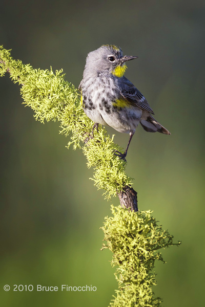 While On A Lichen Perch A Male Yellow-rumped Warbler Looks Around by BruceFinocchio