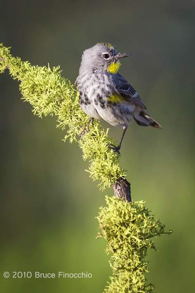 While On A Lichen Perch A Male Yellow-rumped Warbler Looks Around