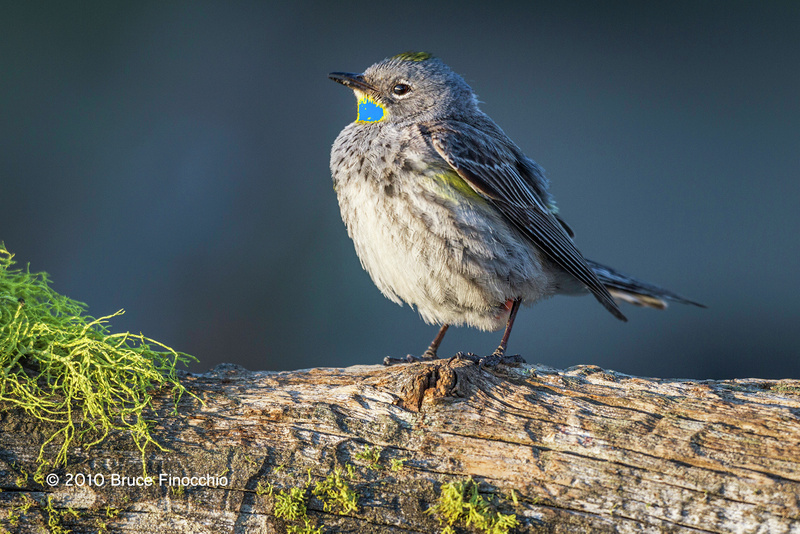 Young Female Yellow-rumped Warbler Prepares To Lay An Egg