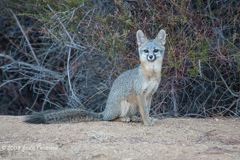 An Alert Young Gray Fox