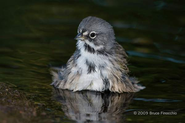 Sage Sparrow Bathing