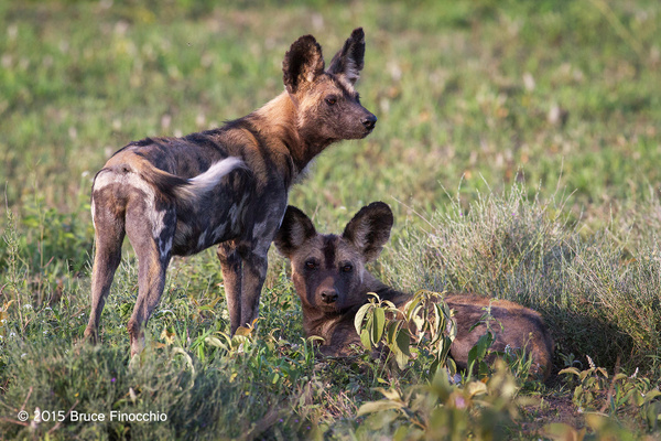 Young_Wild_Dogs_Members_Of_The_Ndutu_Pack_BF51198D7c by...